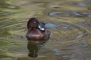 Hardhead duck, male (wild)