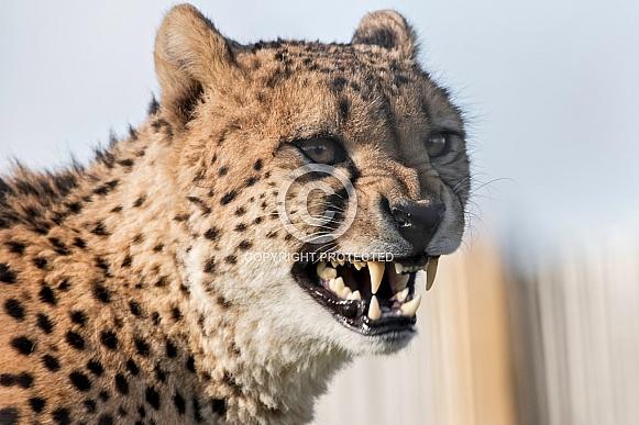 Cheetah close up snarling