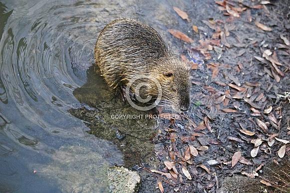 Nutria or River Rat