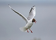 Black headed Gull