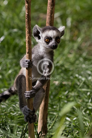 Ring-tailed lemur baby climbing