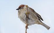 Tree sparrow