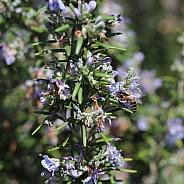 Honey Bee and Rosemary