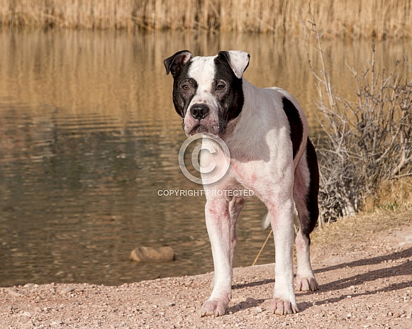 Mixed breed pitbull posing for a portrait