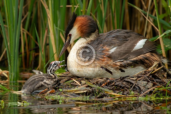 Great Crested Grebe with a young