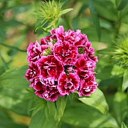 Deep Pink Turkish Carnation Flower