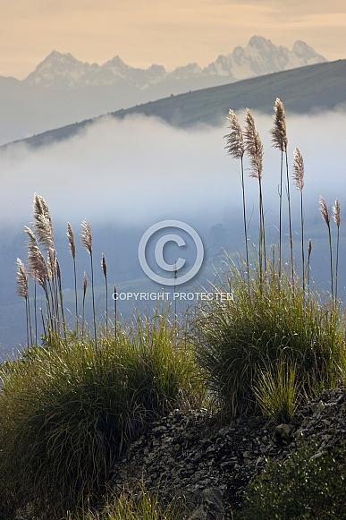Pampas grass - Andes Mountains - Ecuador