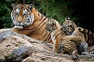 Amur tiger with cubs
