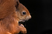 Red Squirrel Close Up