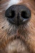 Cavalier king charles spaniel nose