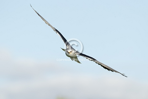 Black Shouldered Kite in Flight