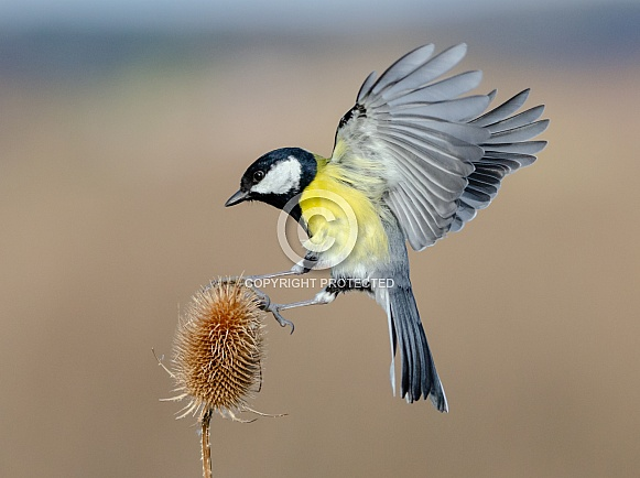 A Great tit landing on a Teasel