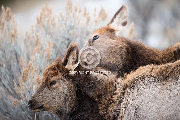 Wild elk cow and calf