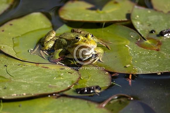 Green Frog On Lillypad