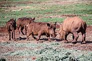 Rhino and Warthog