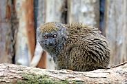 Bamboo lemur (Hapalemur)