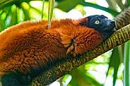 Male Ruffed Lemur