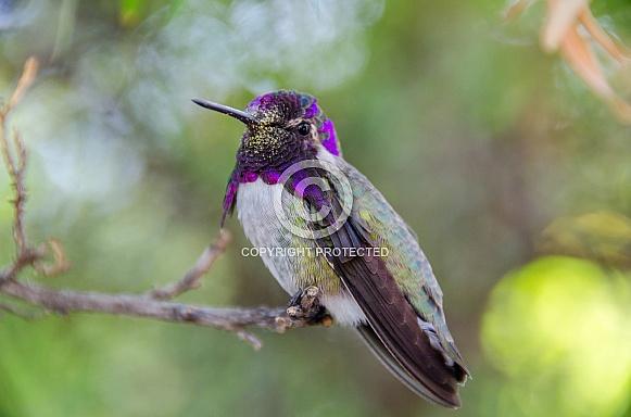 Hummingbird - Costa's