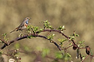 Bluethroat Blaukehlchen