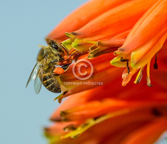 Cape Honey Bee