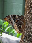 Common Morpho Butterfly