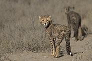 Cheetah cub looking back