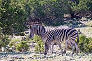 Zebra Duo