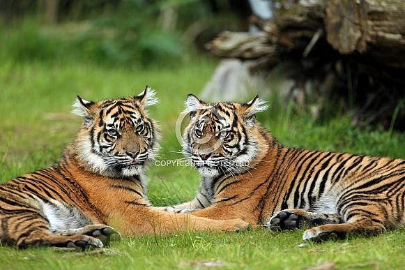 Pair of Sumatran Tigers
