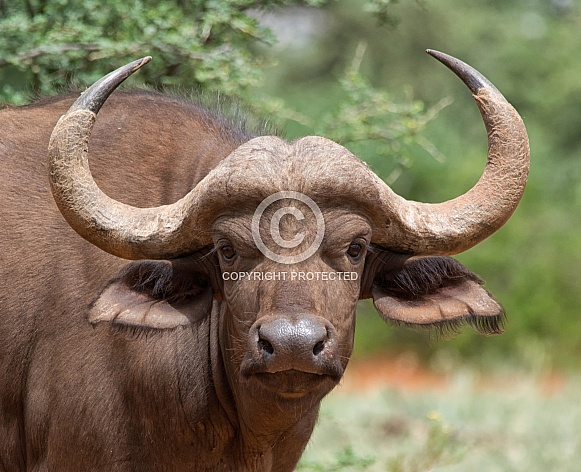 Young African Buffalo Portrait
