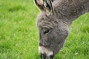 Grazing Miniature Donkey