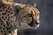 Cheetah Stalking Side Profile