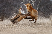 Two Red foxes