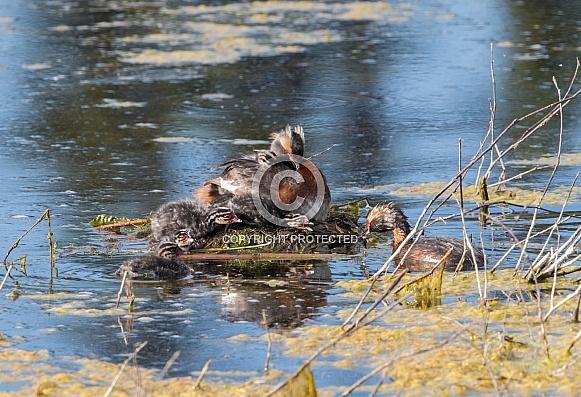 Horned Grebe Nest with Chicks in Alaska