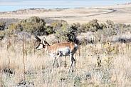 Wild Male Antelope