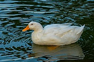 Domestic Duck