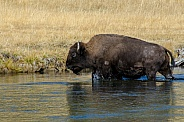 Bison emerging from the Firehole