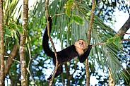 Capuchin Monkey Hanging Out