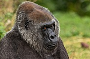 Female Western Lowland Gorilla Looking Sideways