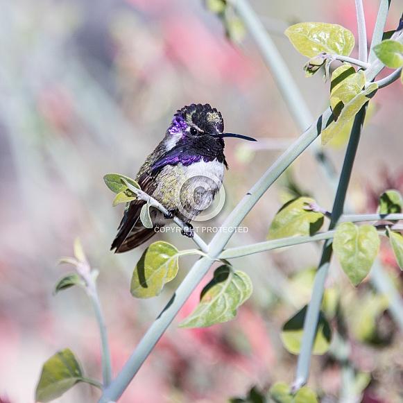 Costa's Hummingbird (Male)
