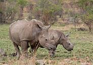 White Rhino with calf (wild)