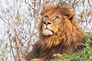 Male African Lion Lying Looking Upwards