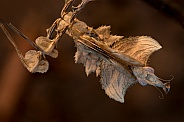 Devil's flower mantis