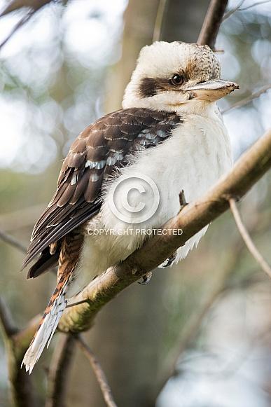 Laughing Kookaburra (wild).
