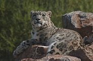 Snow Leopard On Top Of Rocks