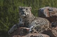 Snow Leopard On Top Of Rocks