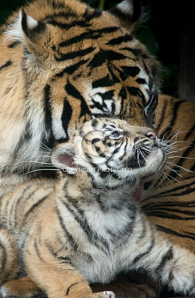 Sumatran Tiger and Cub