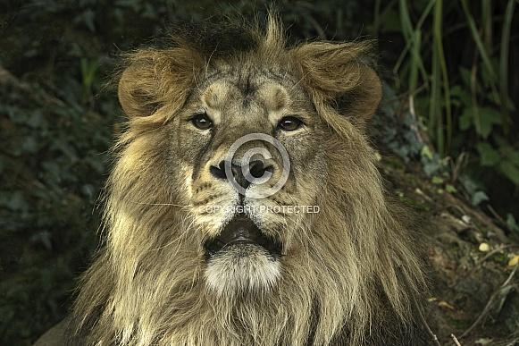Asiatic Lion Face Shot