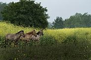 Horses in field of rapeseed