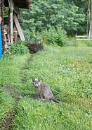 Felis catus, domestic cat