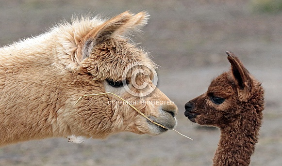 Alpaca and Young